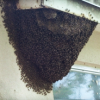 Bee Removal in Winter Haven, Florida