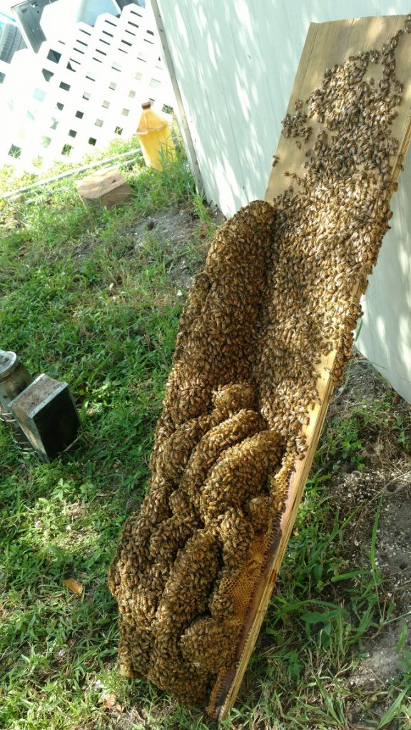 Bee Removal Tampa