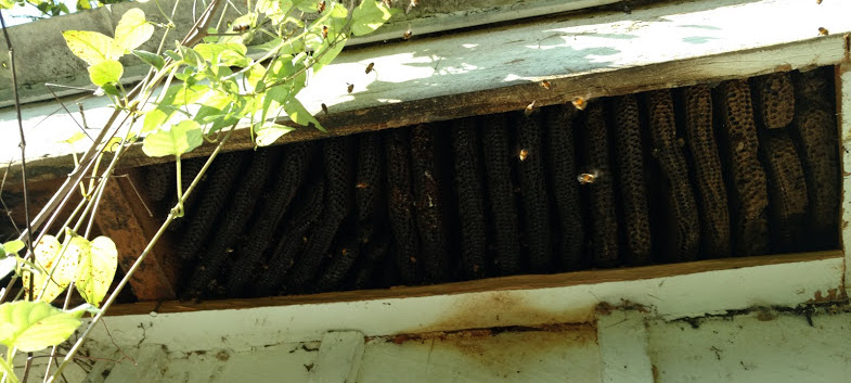 Bees in House in Clearwater, Florida