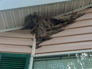 Hornet Removal Bartow