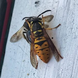 yellow jacket removal tampa