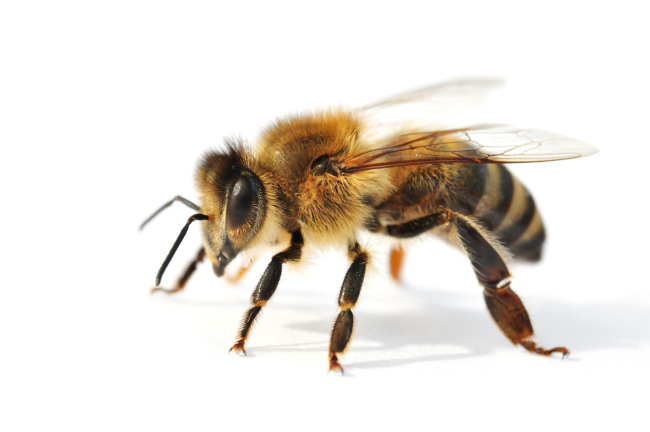 3 Reasons Why You Should Hire a Professional for Bee Removal
