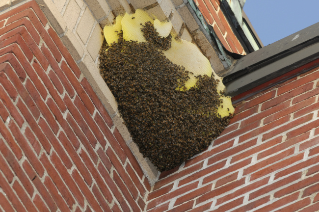 How Honey Bee Removal Works