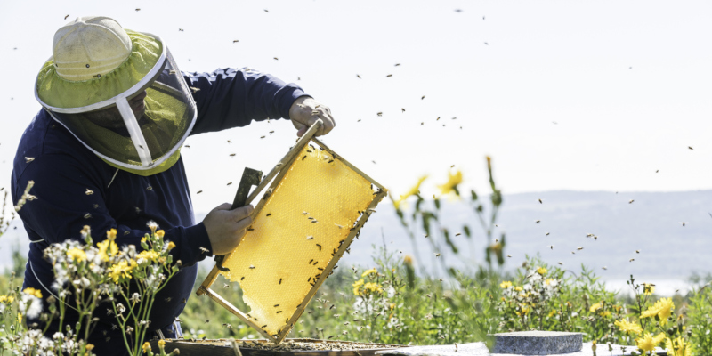 Honey bee removal can be done ethically and responsibly by a knowledgeable professional