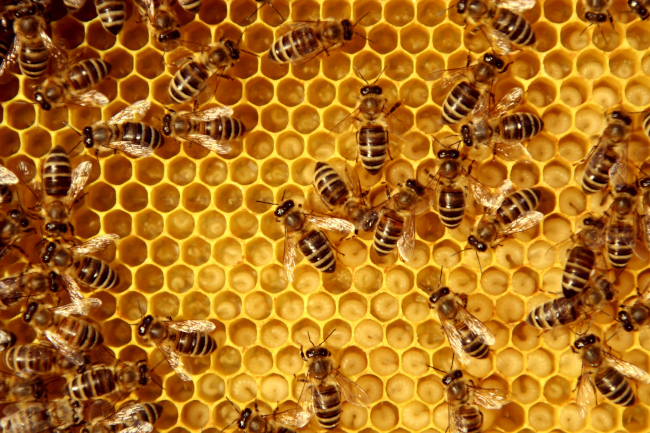 Save the Bees with Proper Honey Bee Removal