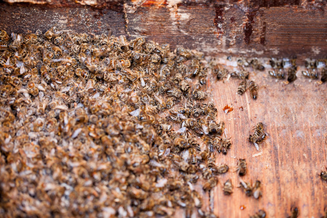 In Need of Bee Pest Control? How to Hire a Professional