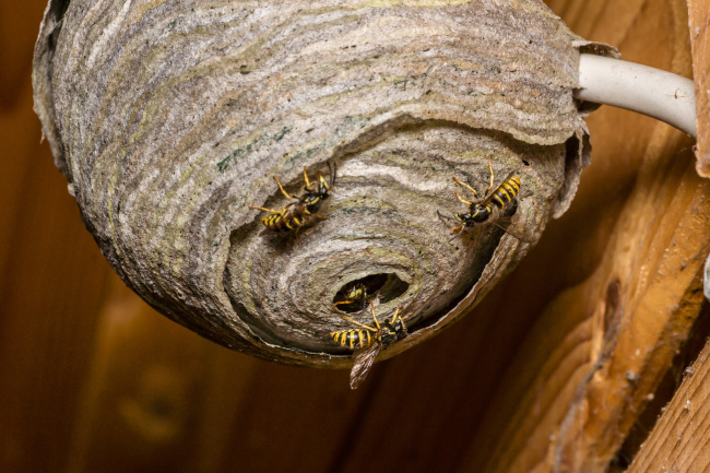 Wasp Nest Removal: What Not to Do