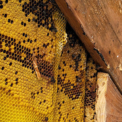 Honey Bee Removal: How to Evict the Bees Without Killing Them