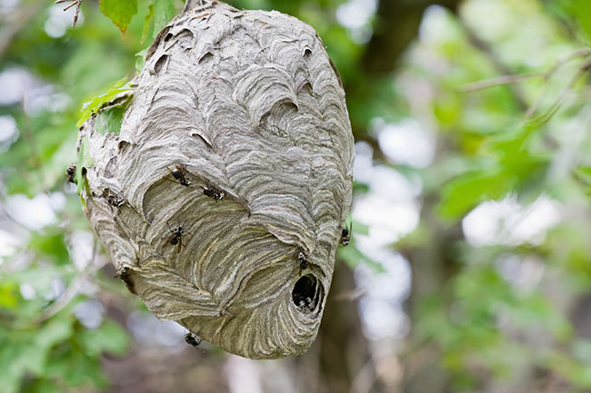 Hornet Nest Removal: How to Get Rid of These Pests for Good