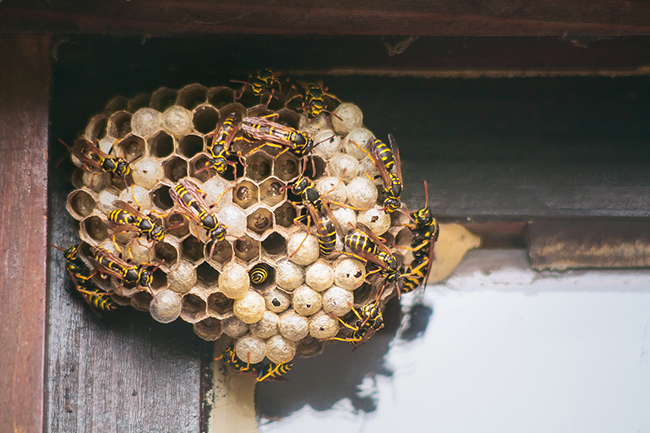 Why Wasp Nest Removal Should be Left Up to the Professionals